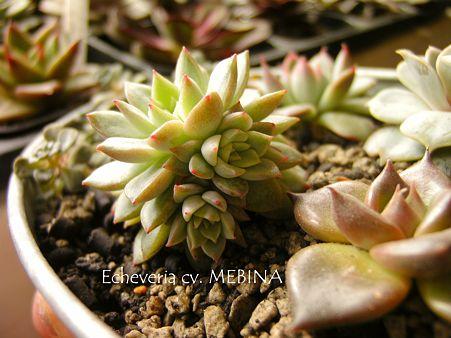 Echeveria cv. MEBINA