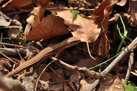 カナヘビ科 ニホンカナヘビ