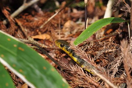 ナミヘビ科 ヤマカガシ