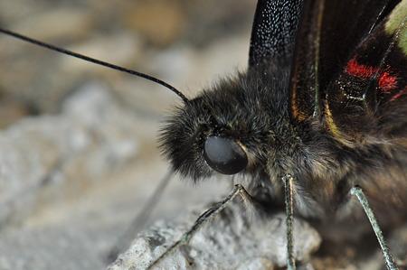 アゲハチョウ科 アオスジアゲハ