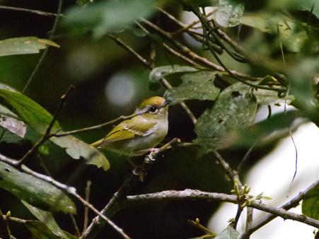 クリビタイモズチメドリ♀(Chestnut-fronted Shrike-babbler) P1190691_R