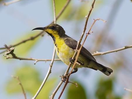 キバラタイヨウチョウ(Olive-backed Sunbird) P1120919_R