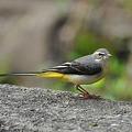 Photos: キセイキレイ(Grey Wagtail) DSC_3740_R