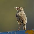 写真: チャバネヤブヒバリ(Rufous-winged Bushlark) P1040478_R