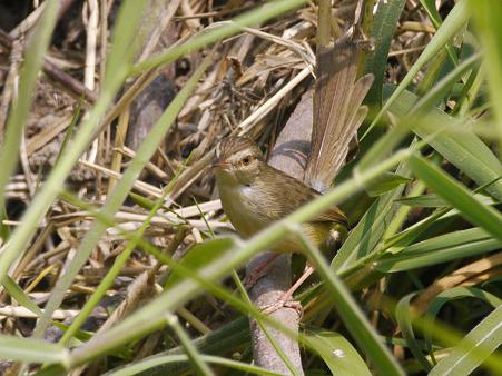 アジアマミハウチワドリ(Plain Prinia) P1030848_R