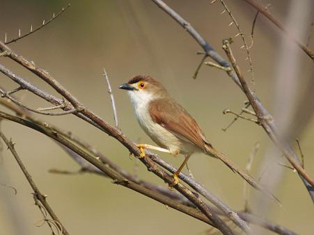 キンメセンニュウチメドリ(Yellow-eyed Babbler) P1040967_R