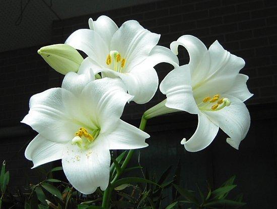 写真: ユリの花を送りましょう。