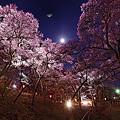 月夜に浮かぶ夜桜。