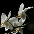 写真: 蘭の花-A