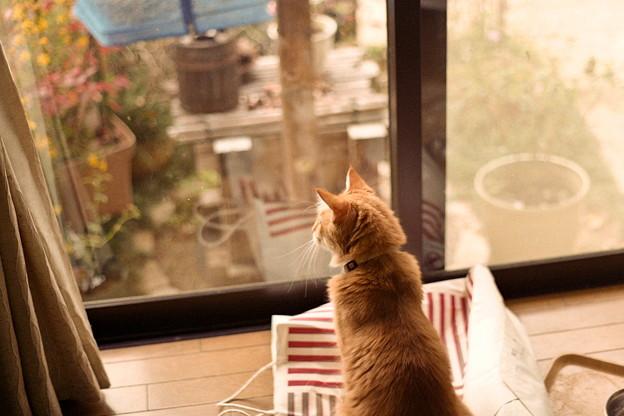 チャチャ、外を眺める