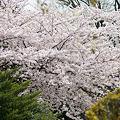Photos: 谷中の桜