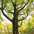 ブナの木~カメラマン