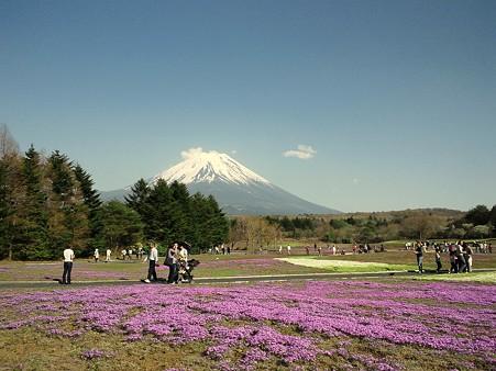 二分咲きですが@富士芝桜まつり2011