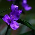写真: ムラサキツユクサ (紫露草)