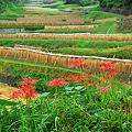 Photos: 棚田に咲く