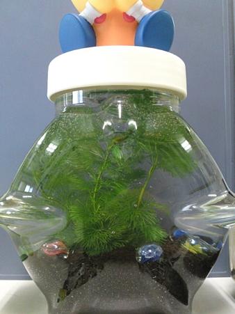 会社でボトルアクアリウム作ってみた。メダカが稚魚すぎて写らない。