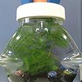写真: 会社でボトルアクアリウム作ってみた。メダカが稚魚すぎて写らない。