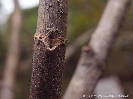 タニウツギ(葉痕)