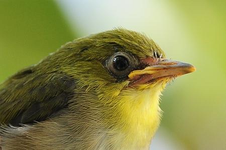 嘴が黄色い幼いメジロ