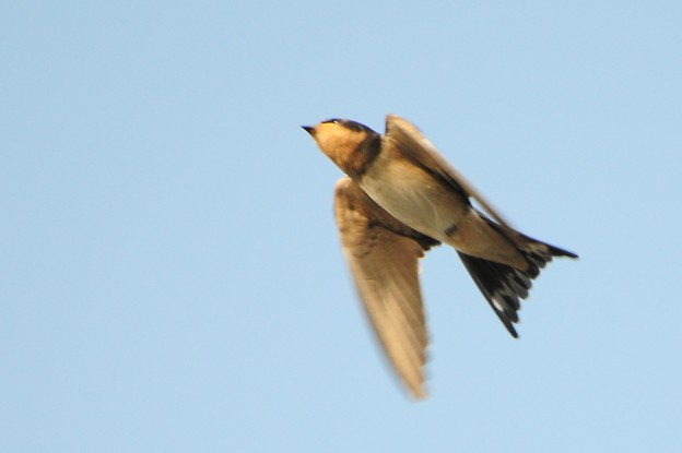 写真: ちょっとピンボケ:飛んでるツバメ
