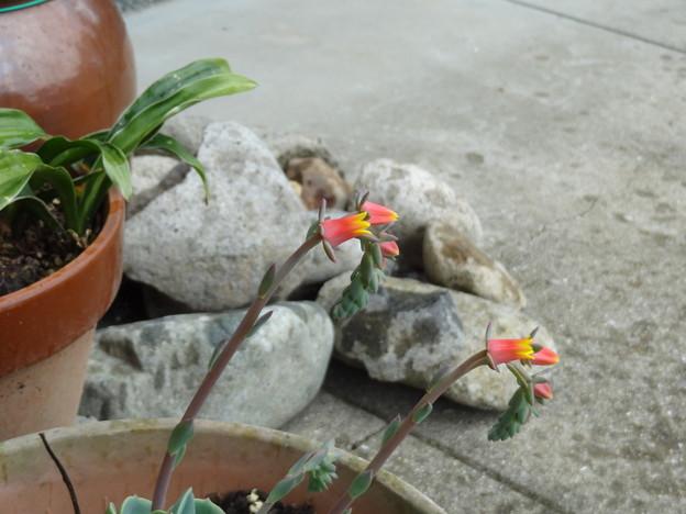 エケベリエと石とツボミ