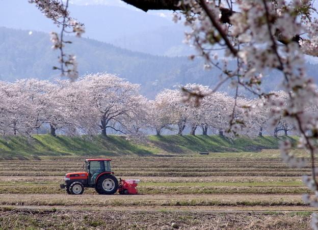 桜と田おこし B
