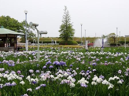 碧南市油ヶ淵遊園地の花菖蒲