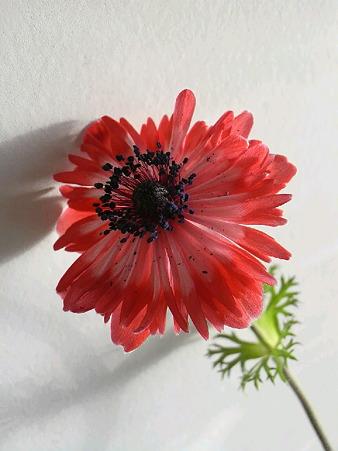 アネモネ菊咲き1