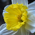 Daffodil in the Woods 4-7-10