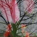 Tulips 4-4-09