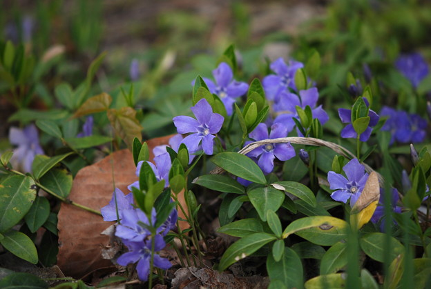 Periwinkles at the Library 5-6-11