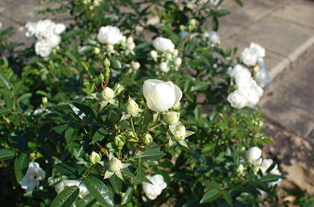 北山緑化植物園の秋薔薇