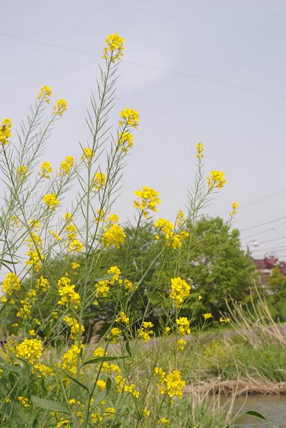 春の陽気 (5) 2011年 5月 なのはな