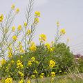 Photos: 春の陽気 (5) 2011年 5月 なのはな