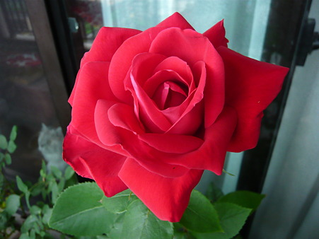 ベランダの薔薇-宴-05