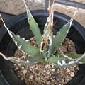 写真: Agave utahensis eborispina