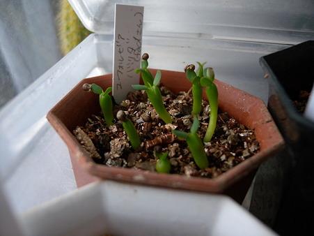 Euphorbia valida seedling
