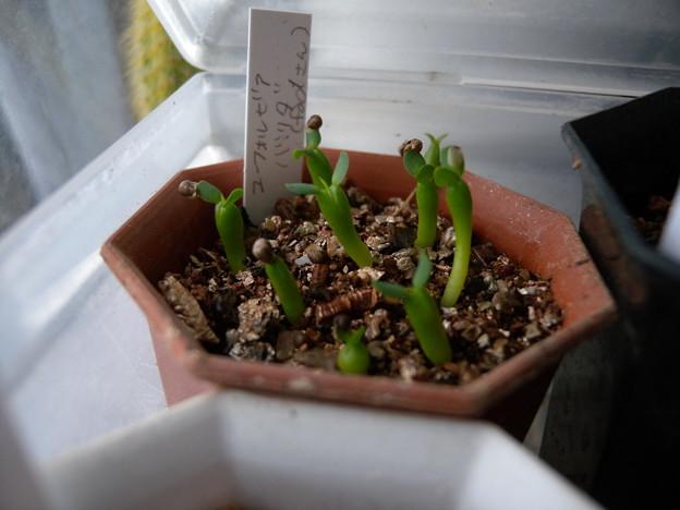 写真: Euphorbia valida seedling