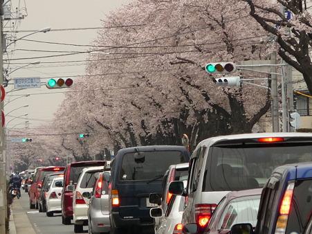 100404-海軍道路の桜 (6)