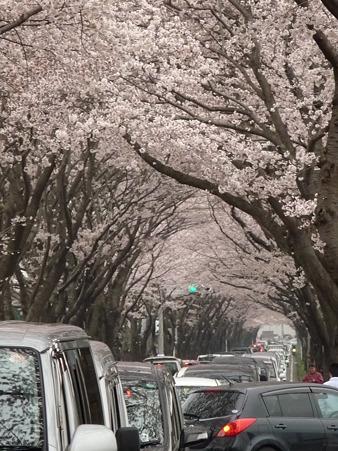 100404-海軍道路の桜 (24)