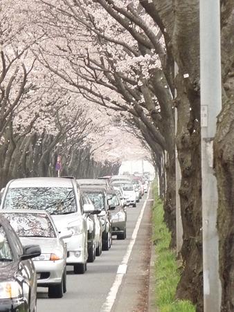 100404-海軍道路の桜 (66)