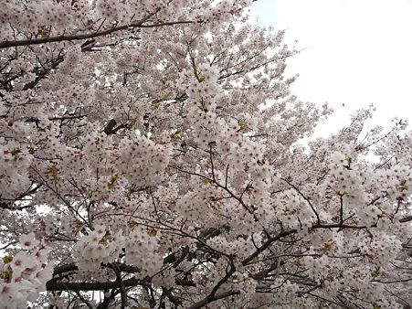 100411-熊谷桜堤 (32)