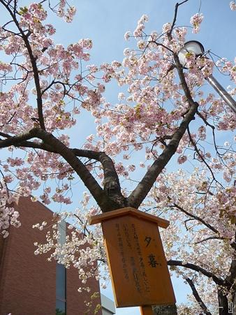 110417-造幣局 桜の通り抜け (78)