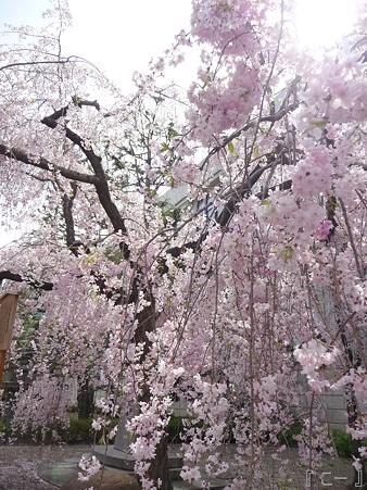 110417-造幣局 桜の通り抜け (105)