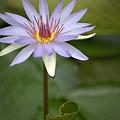 Photos: 2重になってる蓮の花
