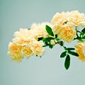 写真: 黄色のバラ?