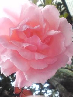 Photos: ちなみに薔薇も開花中♪台風...