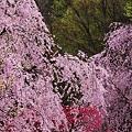Photos: Sakura falls.