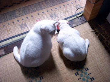 10-4-7-pyoro&shirori