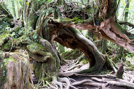 白谷雲水峡の木その12